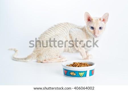white cat, purebred, kitten, breed Cornish Rex, white background, short hair, undercoat, wavy, insulated - stock photo