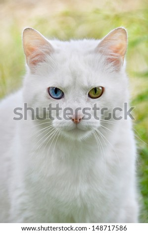 White cat sitting on the grass. Cat with different colored eyes, unusual. - stock photo