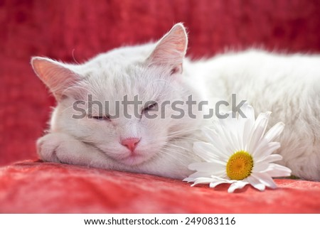 White cat sleeping on red chair - stock photo