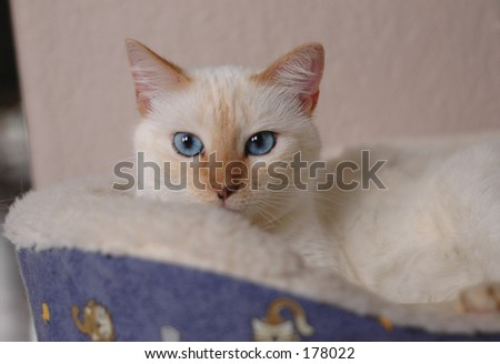 white cat,tabby features resting in bed