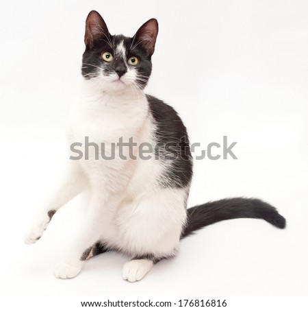 White cat with black spots and yellow eyes sitting on its hind legs on white-gray background - stock photo