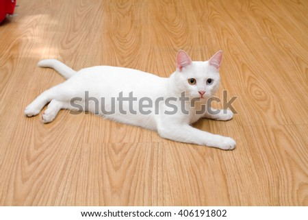 white cat with different eyes