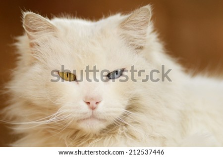 White cat with one blue eye and one green eye - stock photo