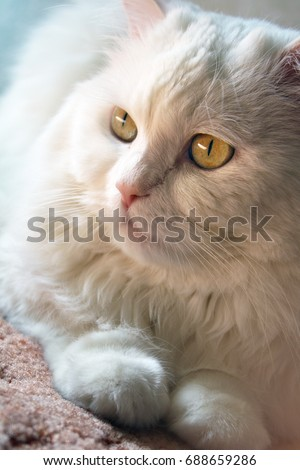 White cat with yellow eyes, animal dreams