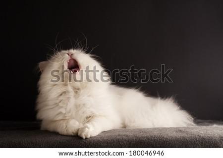 White cat yawning - stock photo