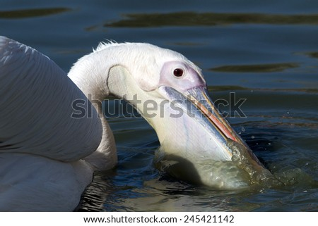 White cattle egret - stock photo