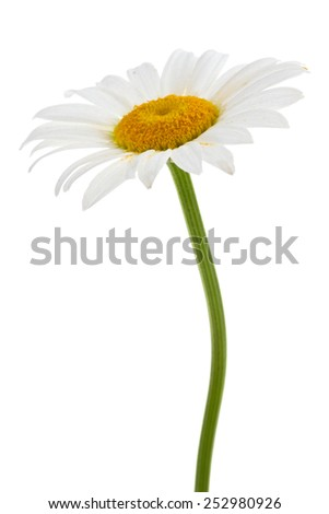 White chamomile isolated on a white - stock photo