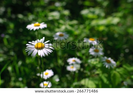 White chamomiles flowers on green background - stock photo