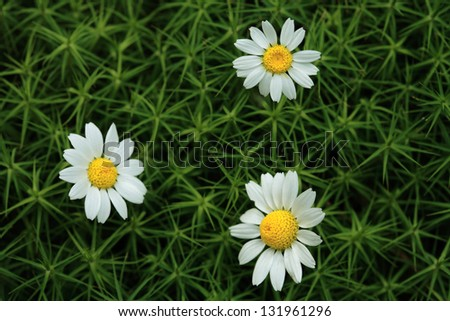 White chamomiles/ Matricaria Chamomilla growing   in the meadow - stock photo
