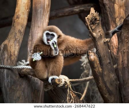 White-cheeked gibbon - stock photo
