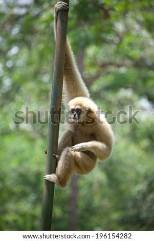White Cheeked Gibbon or Lar Gibbon - stock photo