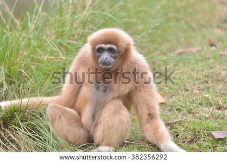 White Cheeked Gibbon or Lar Gibbon  - stock photo