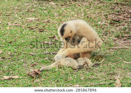 White Cheeked Gibbon or Lar Gibbon at Khao kheow, Chonburi, Thailand - stock photo