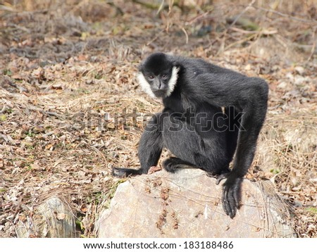 White-cheeked gibbon sitting on the rock and looking directly to the camera