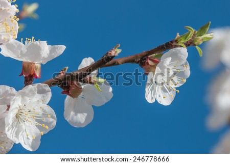 White cherry blossom against the blue sky