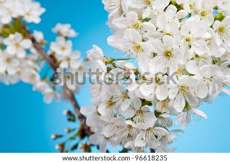 white cherry blossom beautifully in the sky - stock photo