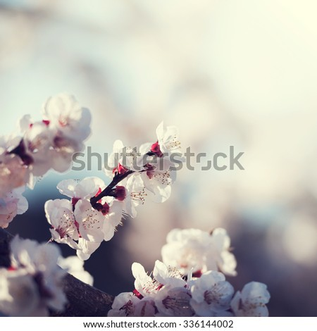 White cherry blossoms in bloom with sky background - stock photo