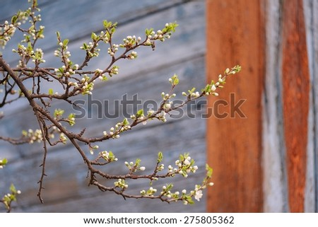 White cherry blossoms on branch in front of painted wall copyspace - stock photo