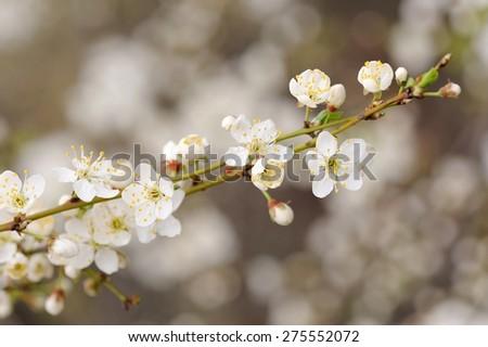White cherry blossoms on diagonal branch - stock photo