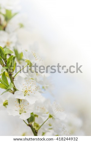 white cherry flowers at spring