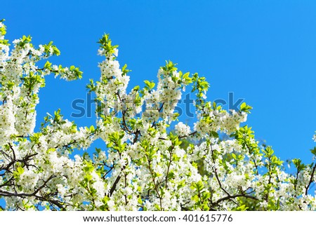 white cherry flowers on spring time - stock photo
