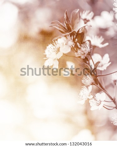 White cherry flowers on sunny day, floral branch of blooming tree in the garden, springtime nature, abstract natural background with soft focus - stock photo