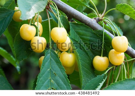 white cherry on a branch, sweet, juicy, ripe - stock photo