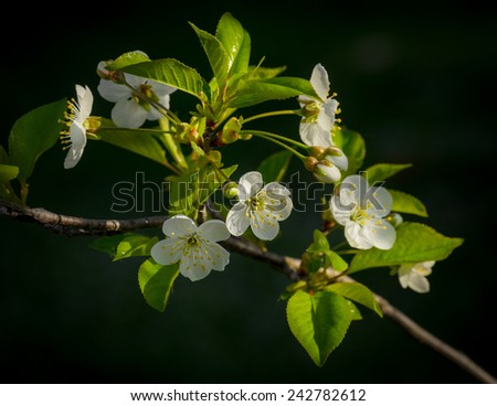 white cherry-tree flowers - stock photo
