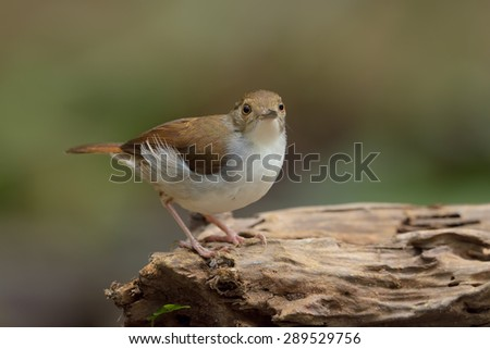 White Chested Babbler searching food on the log