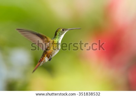 White-chested Emerald Amazilia brevirostris hummingbird from Trinidad hovering in the air with colorful green and red blurred background. - stock photo