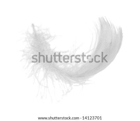 white chicken feather isolated on white background - stock photo