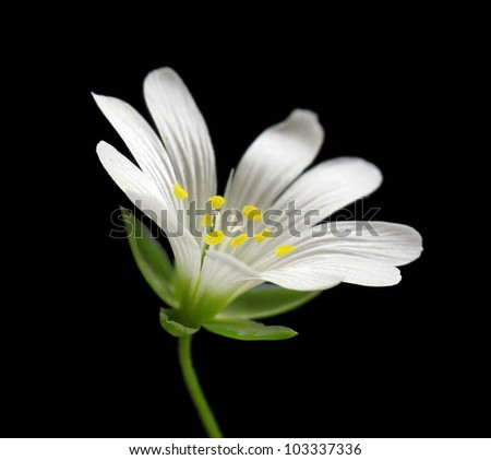 White chickweed flower closeup on black background