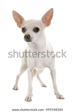 white chihuahua in front of white background