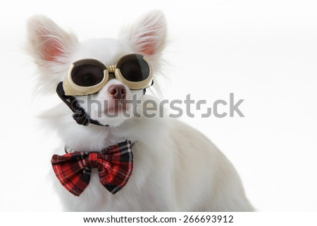 White chihuahua wear red bow tie and dark glasses is smart on isolated background. - stock photo