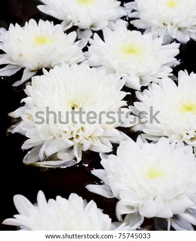 White Chrysanthemum floating on the water - stock photo