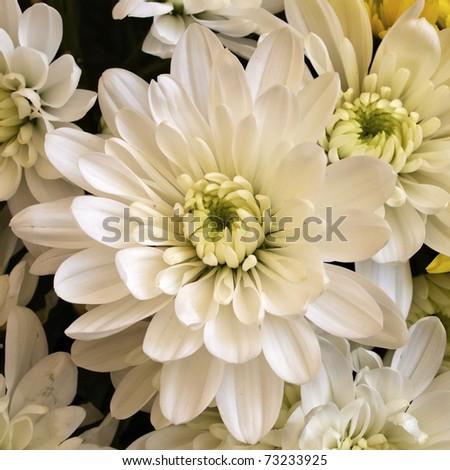 White chrysanthemum flower closeup - stock photo