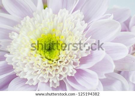 white chrysanthemum flower, closeup image - stock photo