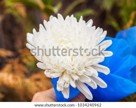 White chrysanthemum flower hold hand blur stock photo royalty free white chrysanthemum flower hold in hand with blur pine leaves background chrysanthemum flower is wildely mightylinksfo Choice Image