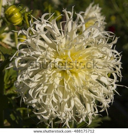 White Chrysanthemum flower in the garden