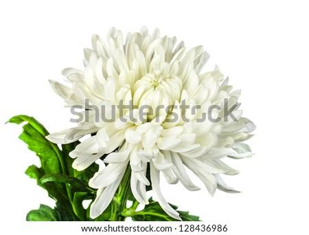 white chrysanthemum  flower isolated on white background - stock photo