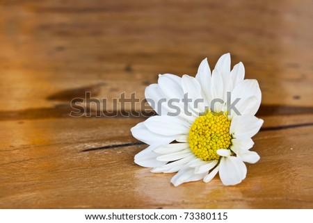 White chrysanthemum flower on wood floor - stock photo