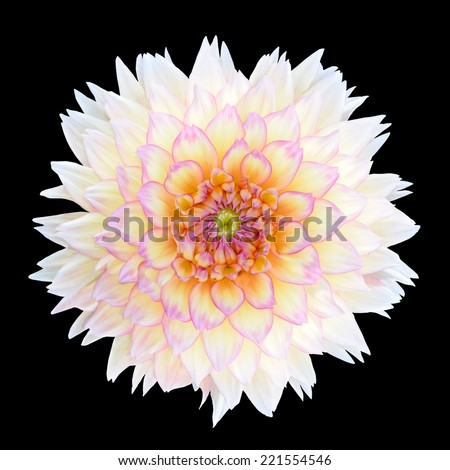White Chrysanthemum Flower with Purple Center Isolated over Black Background. Beautiful Dahlia Flowerhead Macro - stock photo