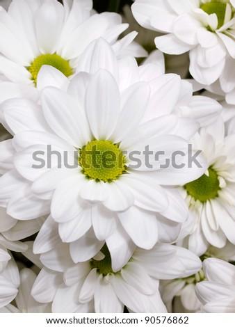 White chrysanthemum flowers - stock photo
