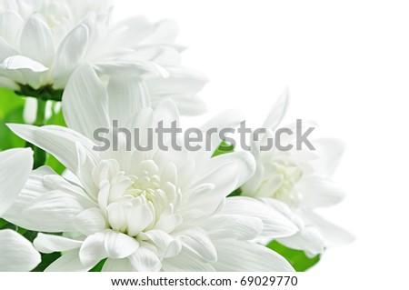 White chrysanthemum isolated on white - stock photo