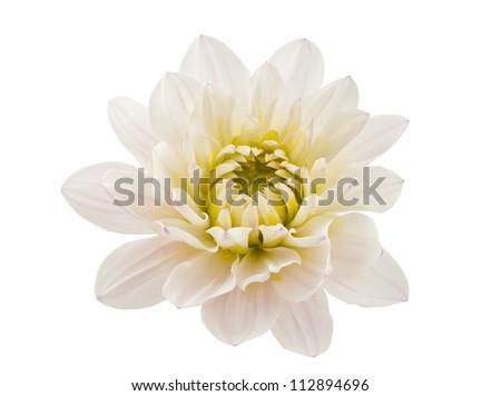 white chrysanthemum isolated on white background - stock photo