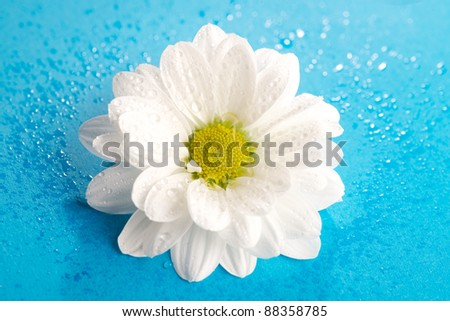 white chrysanthemum on a blue background - stock photo