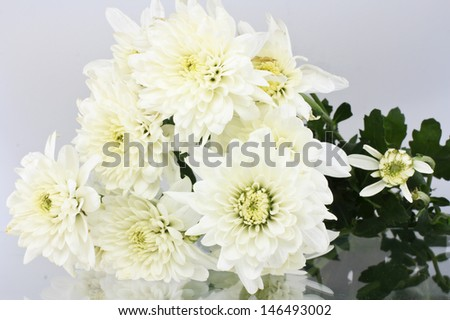 White chrysanthemum on a white background  - stock photo