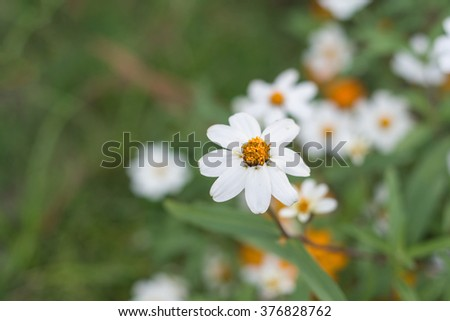 White chrysanthemums flowers in the garden ,Shallow Dof. - stock photo