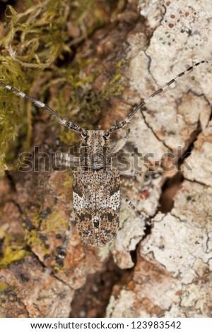 White-clouded longhorn beetle (Mesosa nebulosa) sitting on oak, macro photo
