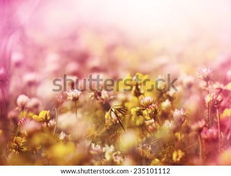 White clover between yellow flowers - stock photo